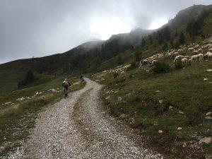 ciclista e pecore in montagna