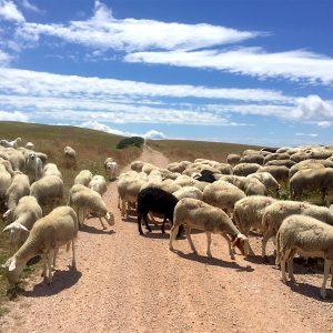 fargno-pecore-piani-di-pao