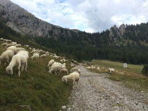 Un gregge lungo una strada in alta montagna