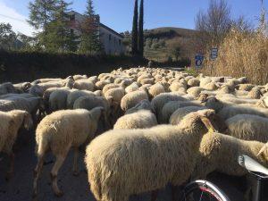 pecore e cani lungo strada